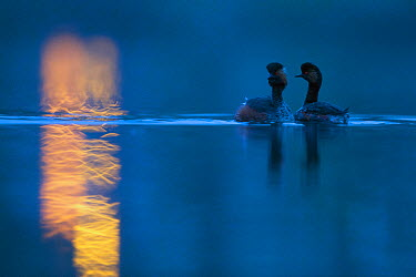 Black necked grebe (Podiceps nigricollis) pair at night, performing their courtship dance during the mating season, with street lights reflected in the water The NetherlandsApril 2014  -  David Pattyn/ npl