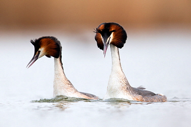 Great crested grebe (Podiceps cristatus) pair swimming fast and mimicking each others head shaking during the courtship dance The Netherlands April  -  David Pattyn/ npl