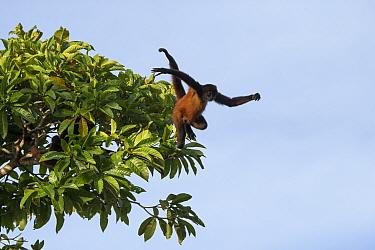 Black-handed spider monkey (Ateles geoffroyi) leaping from tree, Osa Peninsula, Costa Rica  -  Suzi Eszterhas/ npl