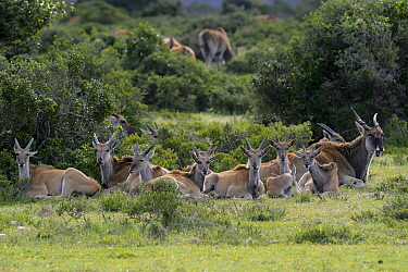 Eland (Tragelaphus oryx) herd lying down, DeHoop Nature Reserve, Western Cape, South Africa, August  -  Tony Phelps/ npl