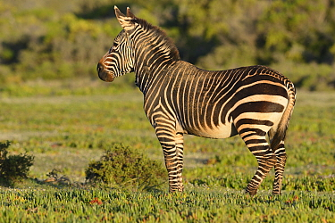 Stallion Cape mountain zebra (Equus zebra zebra) portrait, DeHoop Nature Reserve, Western Cape, South Africa, August, Vulnerable species  -  Tony Phelps/ npl