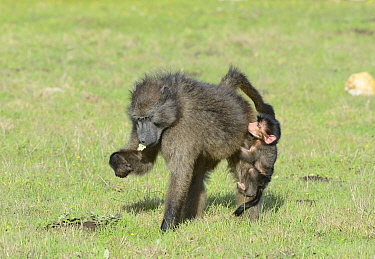 Female Chacma baboon (Papio hamadryas ursinus) feeding with infant (one day) clinging to leg, DeHoop Nature Reserve, Western Cape, South Africa, August  -  Tony Phelps/ npl