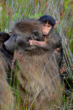 Chacma baboon (Papio hamadryas ursinus) infant clinging on mothers back, DeHoop Nature Reserve, Western Cape, South Africa, August  -  Tony Phelps/ npl
