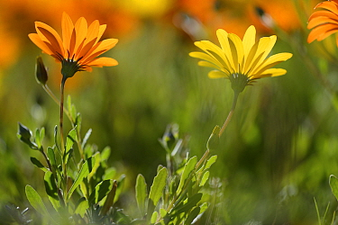 Two Parachute daisies (Ursinia anthemoides) in flower, Vergelegen, Little Karoo, Western Cape, South Africa, July  -  Tony Phelps/ npl