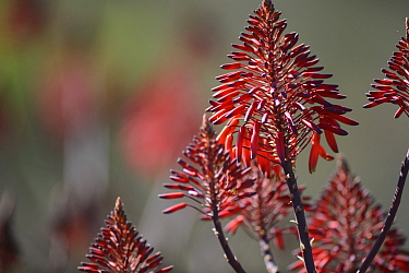 Cape speckled aloe (Aloe microstigma) flowers, Little Karoo, Western Cape, South Africa, July  -  Tony Phelps/ npl