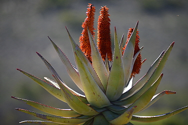 Bitter aloe (Aloe ferox) in flower, Little karoo, Western Cape South Africa, July  -  Tony Phelps/ npl