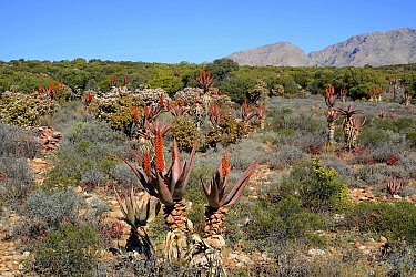 Bitter aloes (Aloe ferox) flowering, Little Karoo, Western Cape, South Africa, July  -  Tony Phelps/ npl