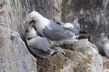 Kittiwake (Rissa tridactyla), feeding baby chick, Farne Islands, UK, July  -  Ann & Steve Toon/ npl