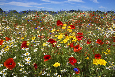 Wildflowers, including poppies (Papaver rhoeas), corn marigold (Glebionis segetum), cornflowers (Centaurea cyanus) and corn chamomile (Anthemis arvensis), being grown for seed by Landlife, Fir Tree Fa...  -  Ann & Steve Toon/ npl