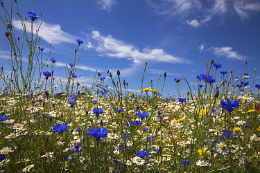 Wildflowers, including corn marigold (Glebionis segetum), cornflowers (Centaurea cyanus) and corn chamomile (Anthemis arvensis), being grown for seed by Landlife, Fir Tree Farm, Merseyside, UK, June  -  Ann & Steve Toon/ npl