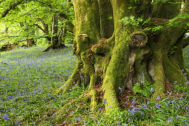 Ancient woodland, with flowering bluebells, Wood of Cree RSPB reserve, Galloway, Scotland, UK, May  -  Ann & Steve Toon/ npl