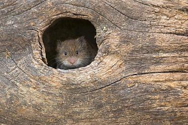 Field vole (Microtus agrestis) in hole, UK, June, captive  -  Ann & Steve Toon/ npl