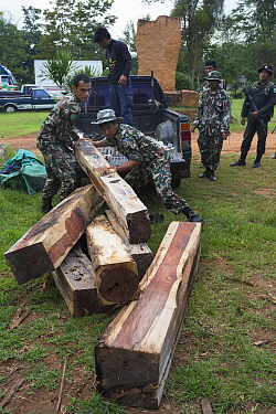 Thap Lan rangers unloading Siam rosewood tree (Dalbergia cochinchinensis) timber confiscated from poachers, Thap Lan National Park, Dong Phayayen-Khao Yai Forest Complex, eastern Thailand, August, 2014  -  Ann & Steve Toon/ npl