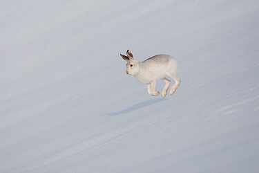 Mountain Hare (Lepus timidus) in winter pelage, running across snow. Scotland. January 2010. Highly commended, 'Animal Behaviour' category, British Wildlife Photography Awards (BWPA) competition 2012.