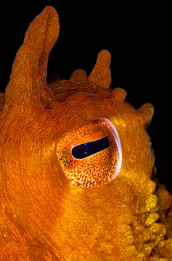 The eye of a Pacific giant octopus (Enteroctopus dofleini). Browning Pass, Vancouver Island, British Columbia, Canada