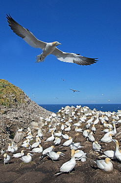 Northern gannets (Morus bassanus) flying above their breeding colony, Great Saltee Island, Wexford, Ireland, June