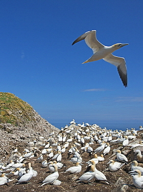 Northern gannet (Morus bassanus) flying above breeding colony, Great Saltee Island, Wexford, Ireland, June