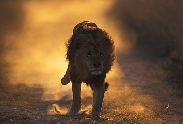 Lion (Panthera Leo) male running, South Africa taken on location for 'Pride' tv series.