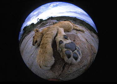 Lion cub (Panthera Leo) resting, fisheye shot Masai Mara, Kenya, Africa. Taken on location for 'Pride' tv series.