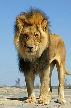 Lion (Panthera Leo) male low angle shot, Masai Mara, Kenya, Africa. Taken on location for 'Pride' tv series.