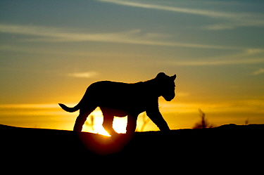 Lion cub (Panthera leo) silhouetted at sunrise,  taken on location for 'Pride' tv series. September 2003