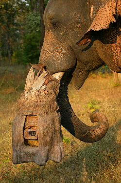 'Tusk cam' camera mounted onto domesticated elephant (Elephas maximus) tusk to film bengal tigers, Pench National Park, Madhya Pradesh, India, taken on location for 'Tiger - Spy in the Jun...