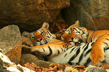 Bengal Tigers (Panthera tigris tigris) resting in the shade  national park, India, taken on location for 'Tiger - Spy in the Jungle' March 2007