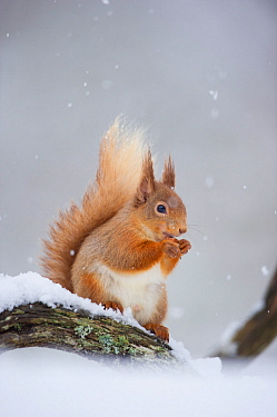 Red Squirrel (Sciurus vulgaris) adult sitting and feeding in snowfall. Cairngorms National Park, Scotland, UK, March.
