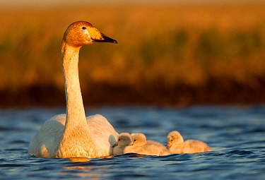 Whooper Swan (Cygnus cygnus) on water with cygnets. Iceland, June.