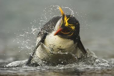 Royal Penguin (Eudyptes schlegeli) splashing water, Macquarie Island, Sub-Antarctic Australia. November.