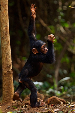 Western chimpanzee (Pan troglodytes verus)   infant male 'Flanle' aged 3 years spinning in circles, Bossou Forest, Mont Nimba, Guinea. January 2011.