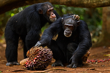 Western chimpanzee (Pan troglodytes verus)   female 'Jire' aged 52 years being groomed by alpha male 'Foaf' aged 30 years, whilst she feeds on palm oil fruit, Bossou Forest, Mont Nimba...