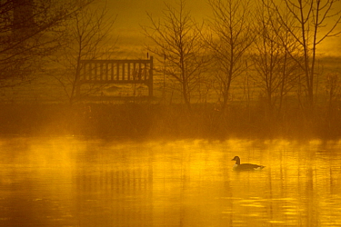 Canada goose (Branta canadensis) silhouetted on lake at dawn, Stockport, Cheshire, England, UK, December. Did you know? Canada geese mate for life.