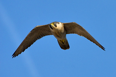 Adult female Peregrine falcon (Falco peregrinus) in flight, Bristol, England, UK, March. Did you know? The highest ever recorded speed of a peregrine falcon in flight was 242 mile per hour!