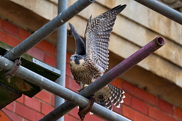 Juvenile male Peregrine falcon (Falco peregrinus) stretching his wings whilst perched on scaffolding, Bristol, England, UK, June.