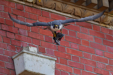Adult female Peregrine falcon (Falco peregrinus)taking off with prey, Bristol, England, UK, June.