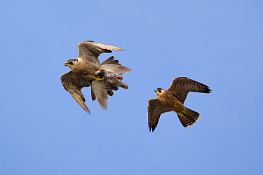 Juvenile male Peregrine falcon (Falco peregrinus) in flight chasing his parent who has Feral pigeon (Columba livia) kill in claws, Bristol, England, UK, June.