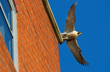 Adult female Peregrine falcon (Falco peregrinus) taking flight from the roof an office block, Bristol, England, UK, May. Did you know? Peregrine falcons have specially adapted nostrils to prevent the...