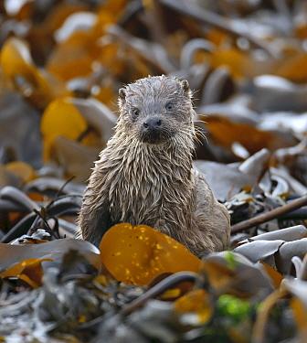 European river otter (Lutra lutra) cub amongst kelp on shoreline, Shetland Isles, Scotland, UK, October.