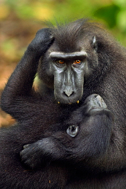 Celebes / Black crested macaque (Macaca nigra)  sub-adult male playing with a juvenile, Tangkoko National Park, Sulawesi, Indonesia.