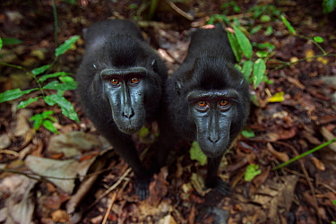 Celebes / Black crested macaque (Macaca nigra)  two juveniles approaching with curiosity, Tangkoko National Park, Sulawesi, Indonesia.
