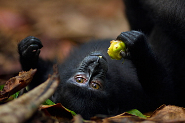Celebes / Black crested macaque (Macaca nigra)  juvenile feeding on a fruit whilst lying on back, Tangkoko National Park, Sulawesi, Indonesia.