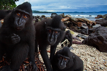 Celebes / Black crested macaque (Macaca nigra)  juveniles watching with curiosity while they feed on a banana tree washed up on the beach, Tangkoko National Park, Sulawesi, Indonesia.