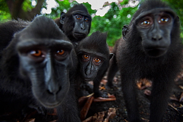 Celebes / Black crested macaque (Macaca nigra) group up close, watching with curiosity, Tangkoko National Park, Sulawesi, Indonesia.