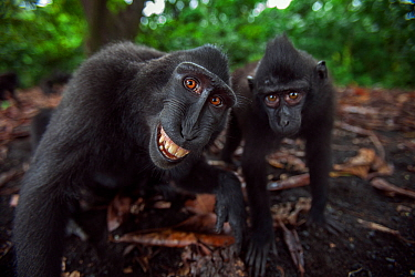 Celebes / Black crested macaque (Macaca nigra) two juveniles approaching with curiosity, one grimacing Tangkoko National Park, Sulawesi, Indonesia.