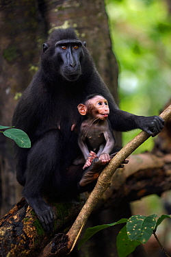 Celebes / Black crested macaque (Macaca nigra)  female sitting with her baby aged less than 1 month in a tree, Tangkoko National Park, Sulawesi, Indonesia.