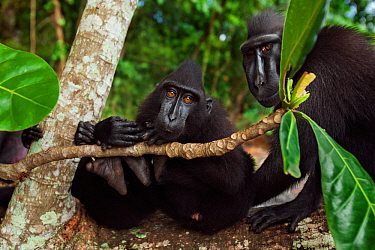 Celebes / Black crested macaque (Macaca nigra)  group sitting on a fallen tree, Tangkoko National Park, Sulawesi, Indonesia.