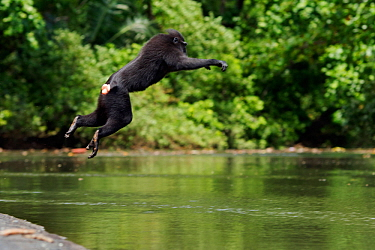 Celebes / Black crested macaque (Macaca nigra)  sub-adult male jumping into the river, Tangkoko National Park, Sulawesi, Indonesia.
