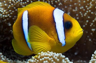 Red Sea anemonefish (Amphiprion bicinctus) in sea-anemone, Red Sea.
