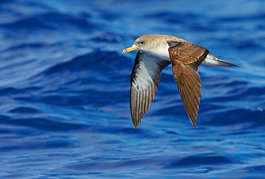 Cory's Shearwater (Calonectris diomedea) in flight, over Atlantic Ocean, Madeira Portugal August